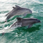 dolphins-jumping in sinchron boat tour